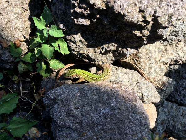 10-lizard_somlo